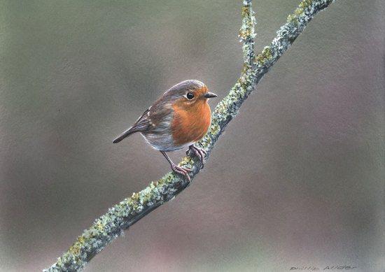 019 Robin On Mossy Twig550px