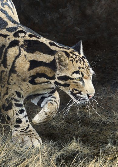 062 Clouded Leopard550px