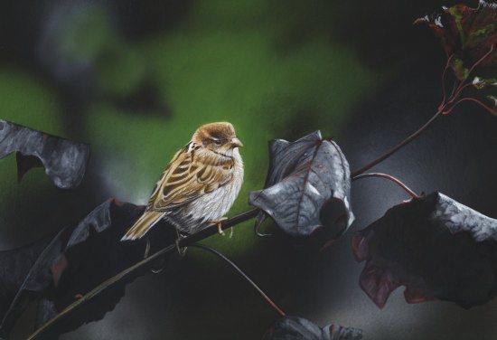 House Sparrow550px