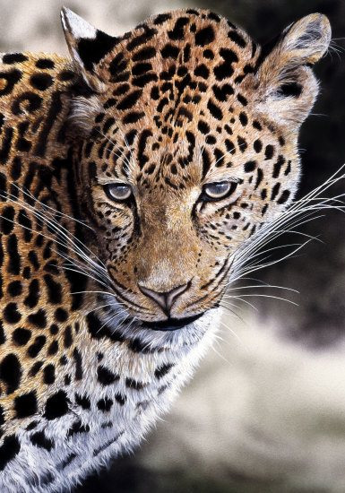 Leopard Study550px