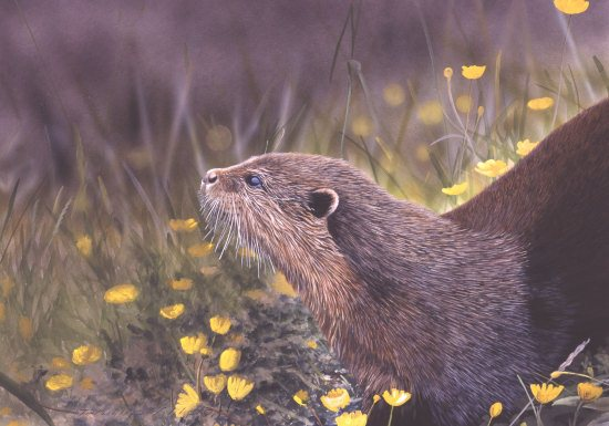 Otter With Buttercups550px