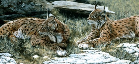 Summer lynx small550px