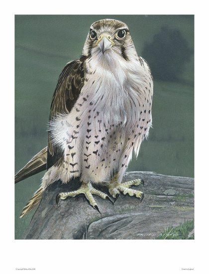 lanner falcon (print)550px