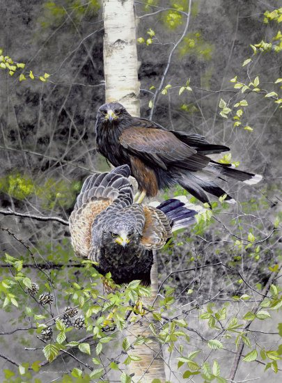 Teamwork (Harris hawks)550px